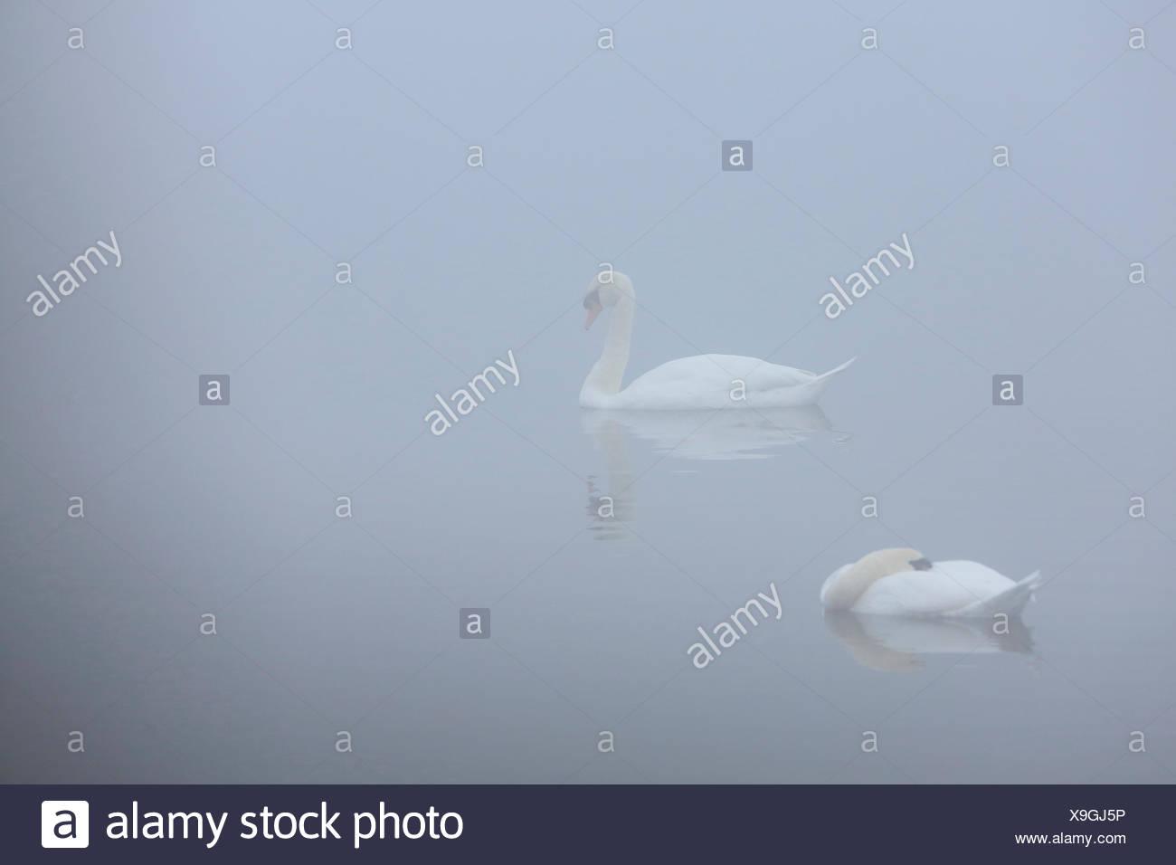 mute swan (Cygnus olor), swimming couple in mist, Netherlands, Flevoland Stock Photo