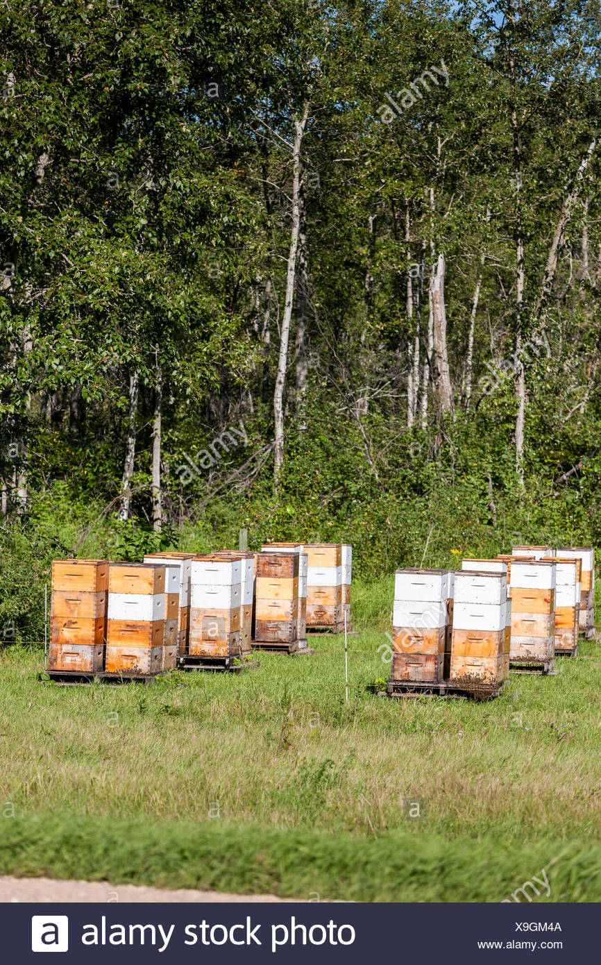 Bee Hives in a field in Manitoba, Canada - Stock Image