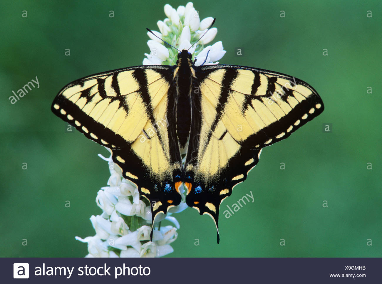 Tiger swallow tail butterfly on bog rein orchid, Wells Gray provincial park, british columbia, canada. - Stock Image