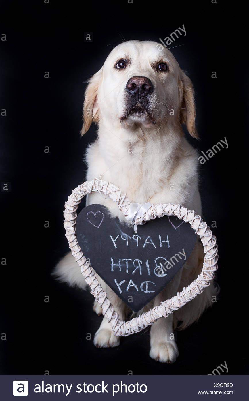 Golden Retriever Wishes Happy Birthday Stock Photo 281267125 Alamy