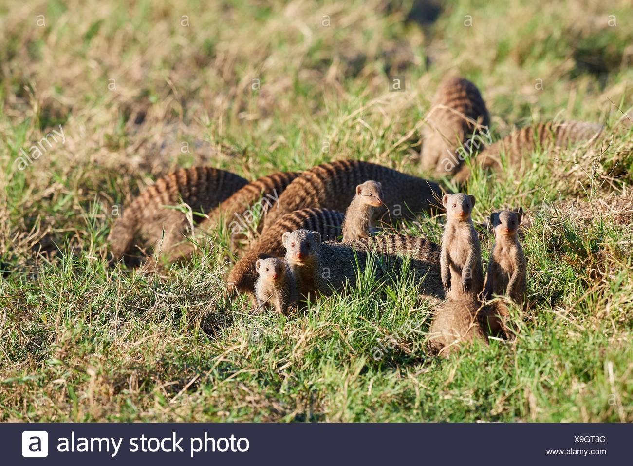 Banded Mongoose (Mungos mungo) family group, Moremi National Park, Okavango Delta, Botswana, Southern Africa. - Stock Image