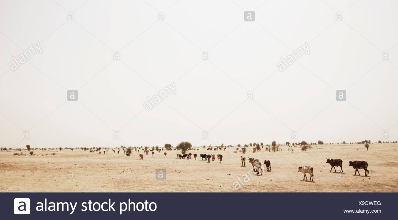 Herd of cattle grazing in steppe, Mauritania - Stock Image