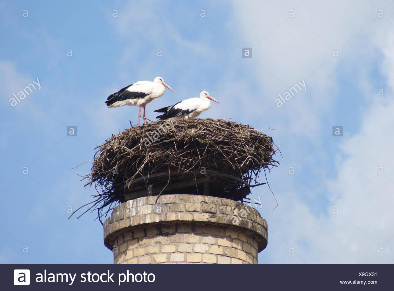White stork - Stock Image