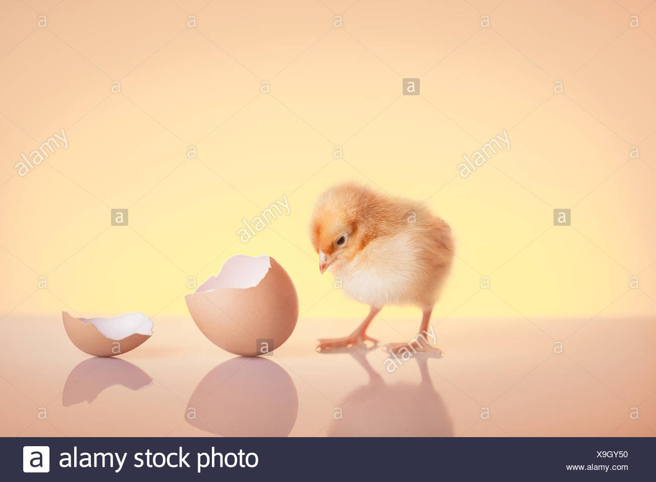 Recently hatched chick staring at an eggshell - Stock Image