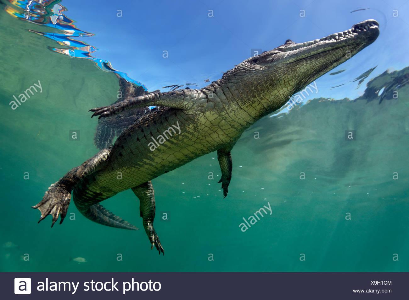 Saltwater Crocodile or Estuarine Crocodile or Indo-Pacific Crocodile (Crocodylus porosus), underwater, swimming close to surface - Stock Image