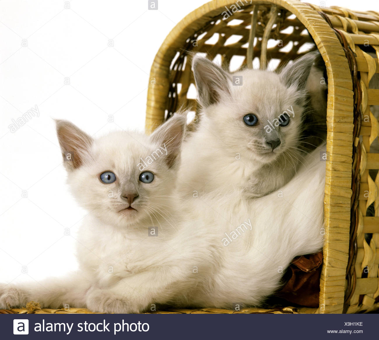 Balinese Domestic Cat Kittens In Basket Stock Photo