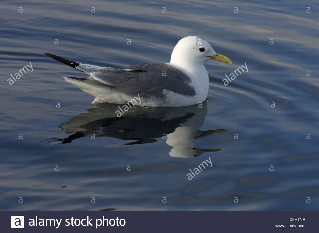 Kittiwake (Rissa tridactyla) adult, summer plumage, swimming, Flatanger, Nord-Trondelag, Norway - Stock Image