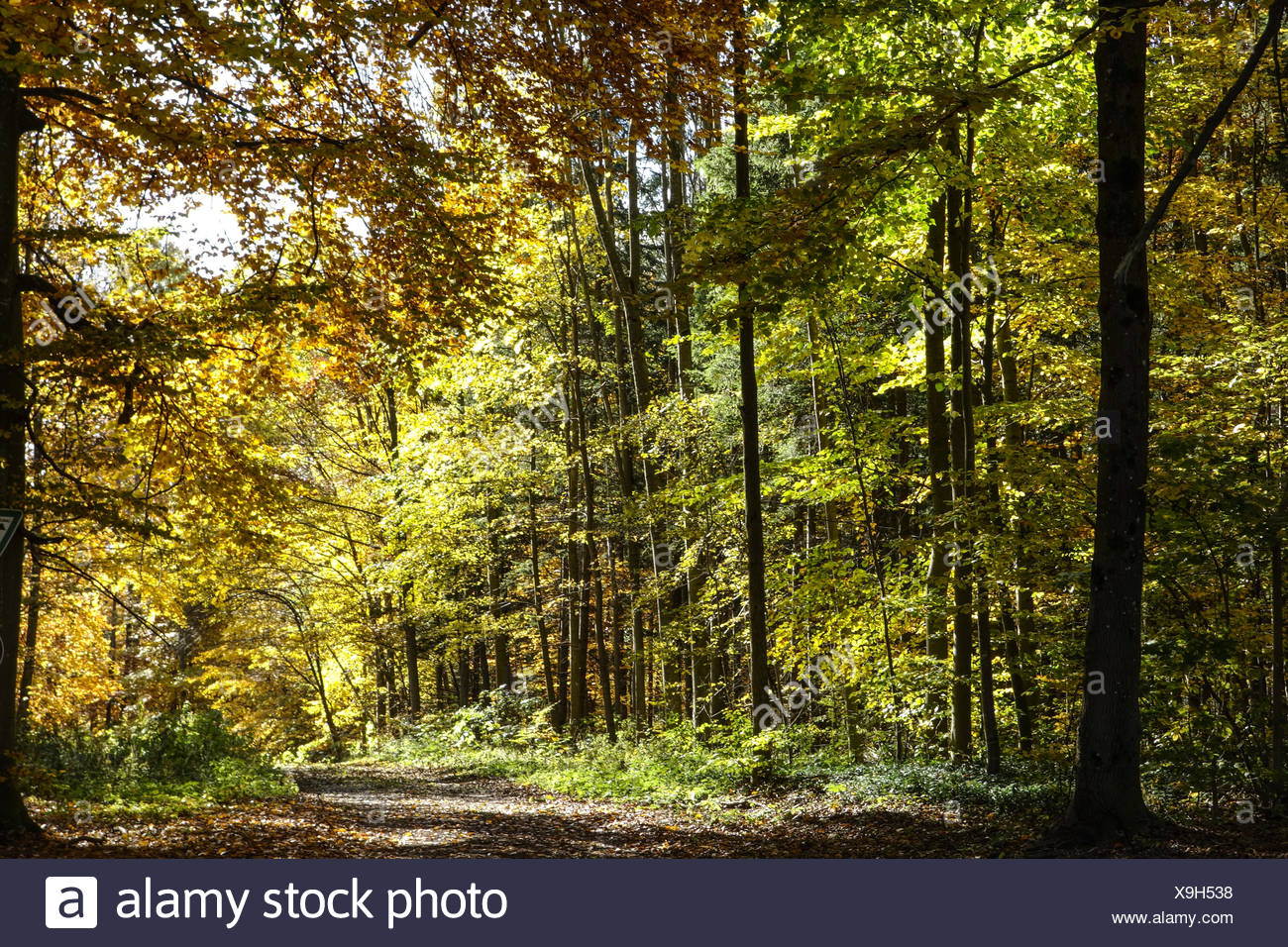 Farbiger Laubwald im Herbst, Colored leaves in autumn deciduous forest, Tree, Trees, Logs, Autumn, Colors, Fall, Foliage, Autumn - Stock Image