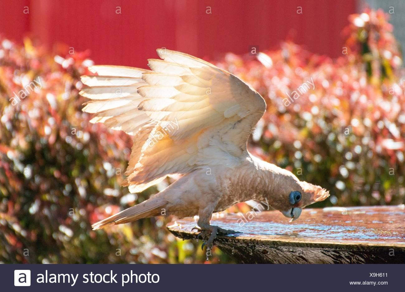 bare-eyed cockatoo - Stock Image