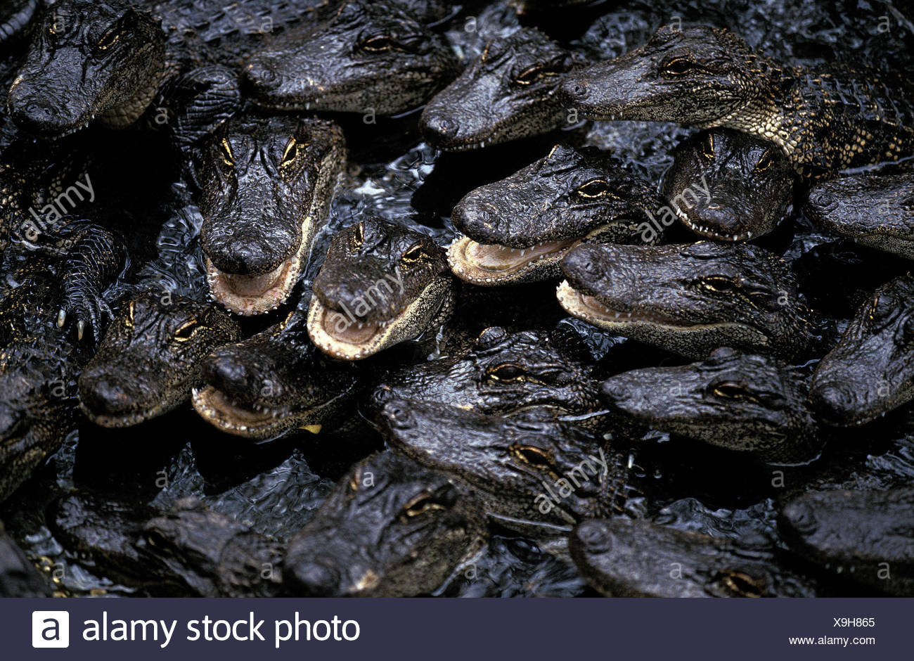 American alligators,alligator mississipiensis,group,young animals,water surface,Florida, Stock Photo
