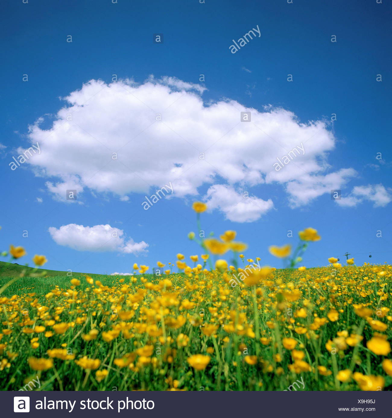 Mountain Pasture Bern Flowers Yellow Flower Meadow Sky Scenery