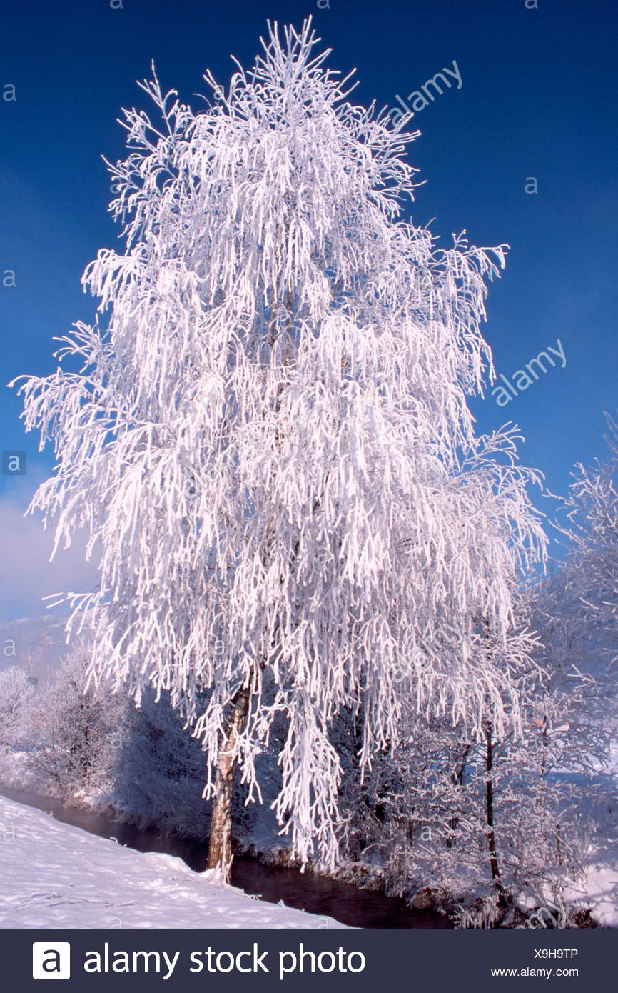 Snow- and frost-covered Silver Birch (Betula pendula) in Schlitters, Zillertal Valley, Tyrol, Austria, Europe - Stock Image