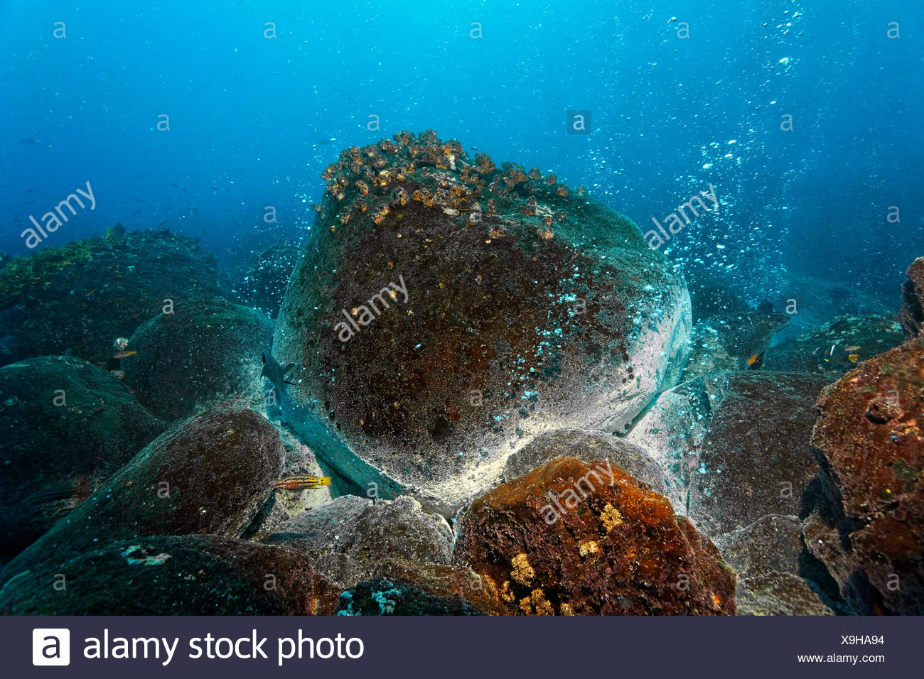 Rocks over a volcanic hot spot, white mineral deposits, hot springs, gas bubbles, overgrown, barnacles (Balanidae), Mexican - Stock Image