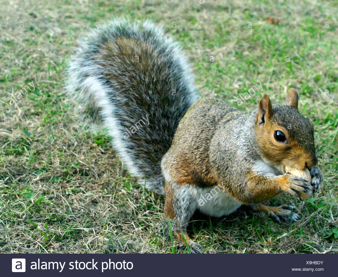 A grey squirrel eating a monkey nut - Stock Image