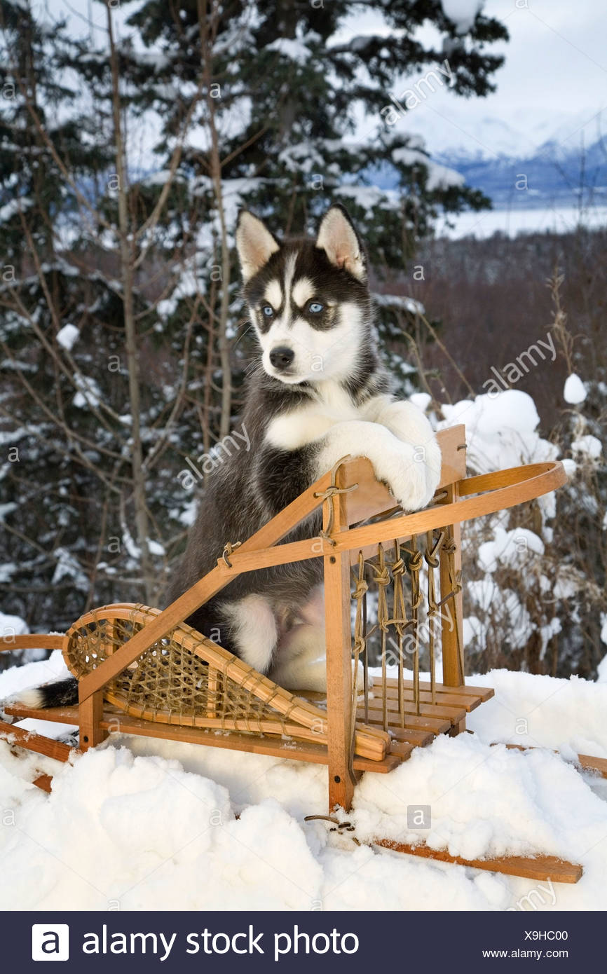 Siberian Husky Puppy Sits In Dog Sled In Snow Alaska Stock Photo
