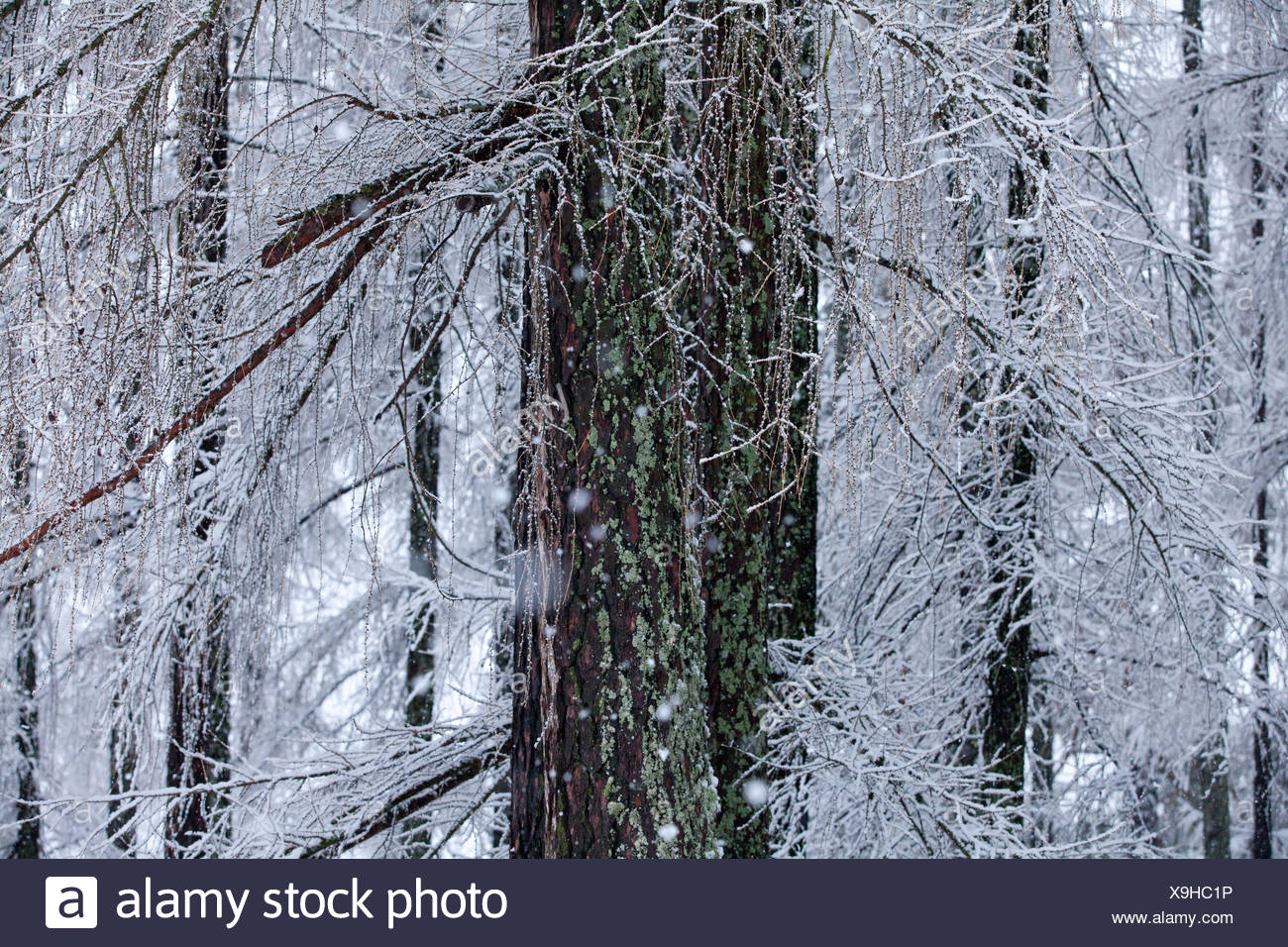 Larch stems with lichens - Stock Image