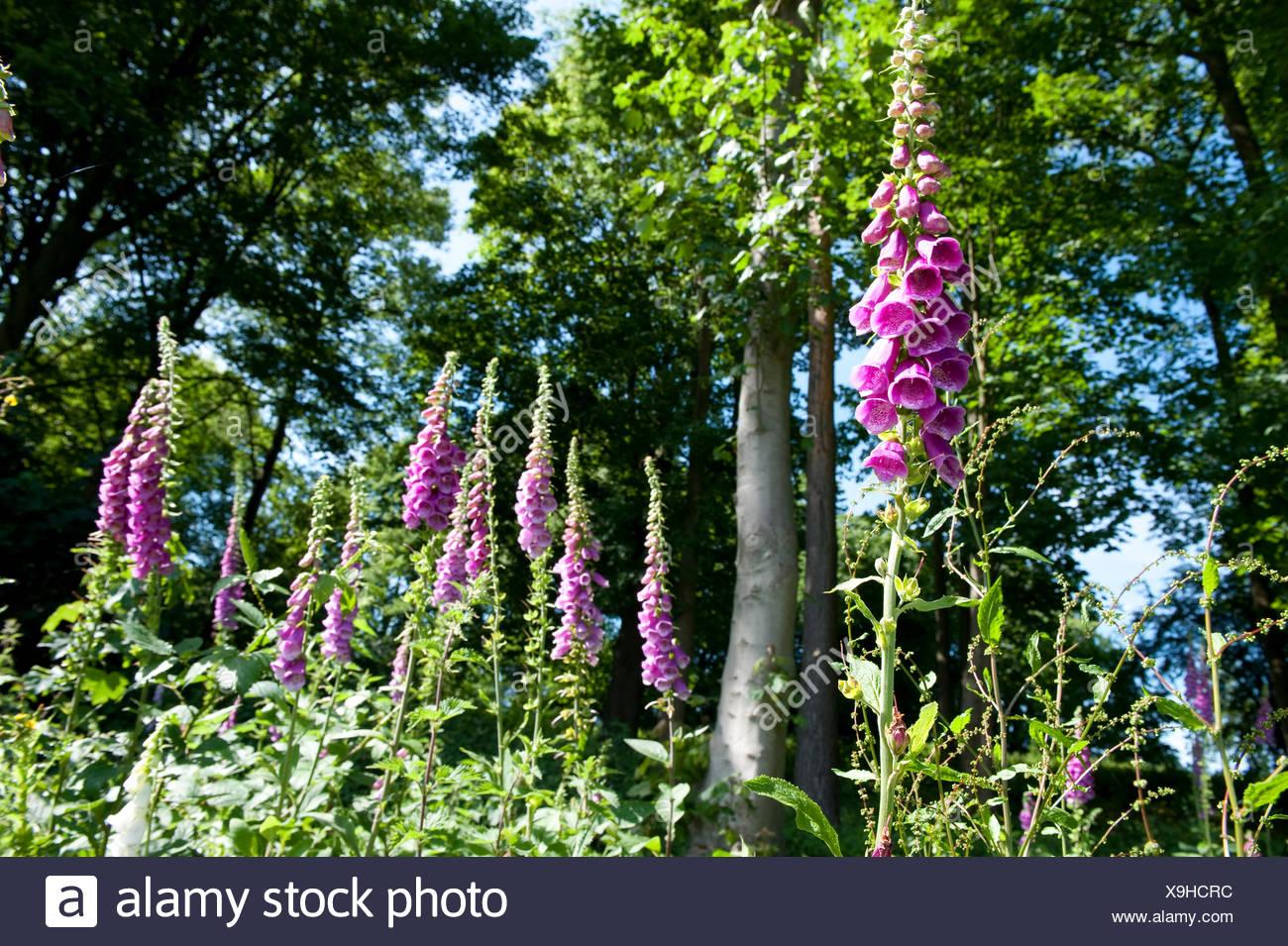 Common Foxglove Digitalis purpurea Kent UK - Stock Image