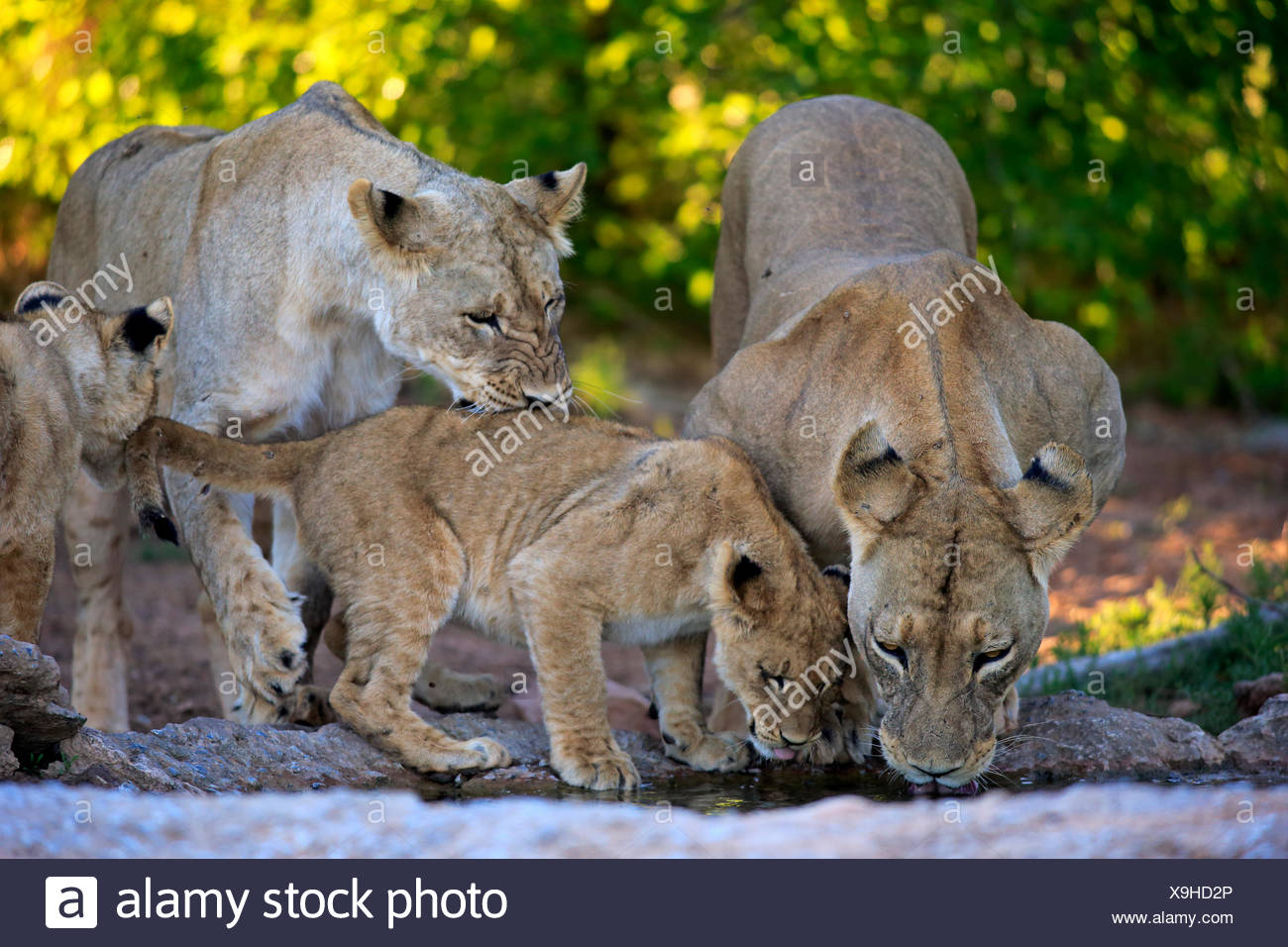 Lions (Panthera leo), lionesses with cubs, four months, at the water, drinking, Tswalu Game Reserve, Kalahari Desert - Stock Image