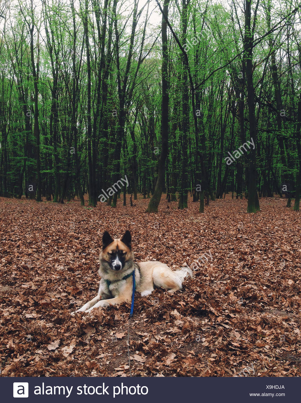Portrait of a husky dog lying on autumn leaves in forest - Stock Image