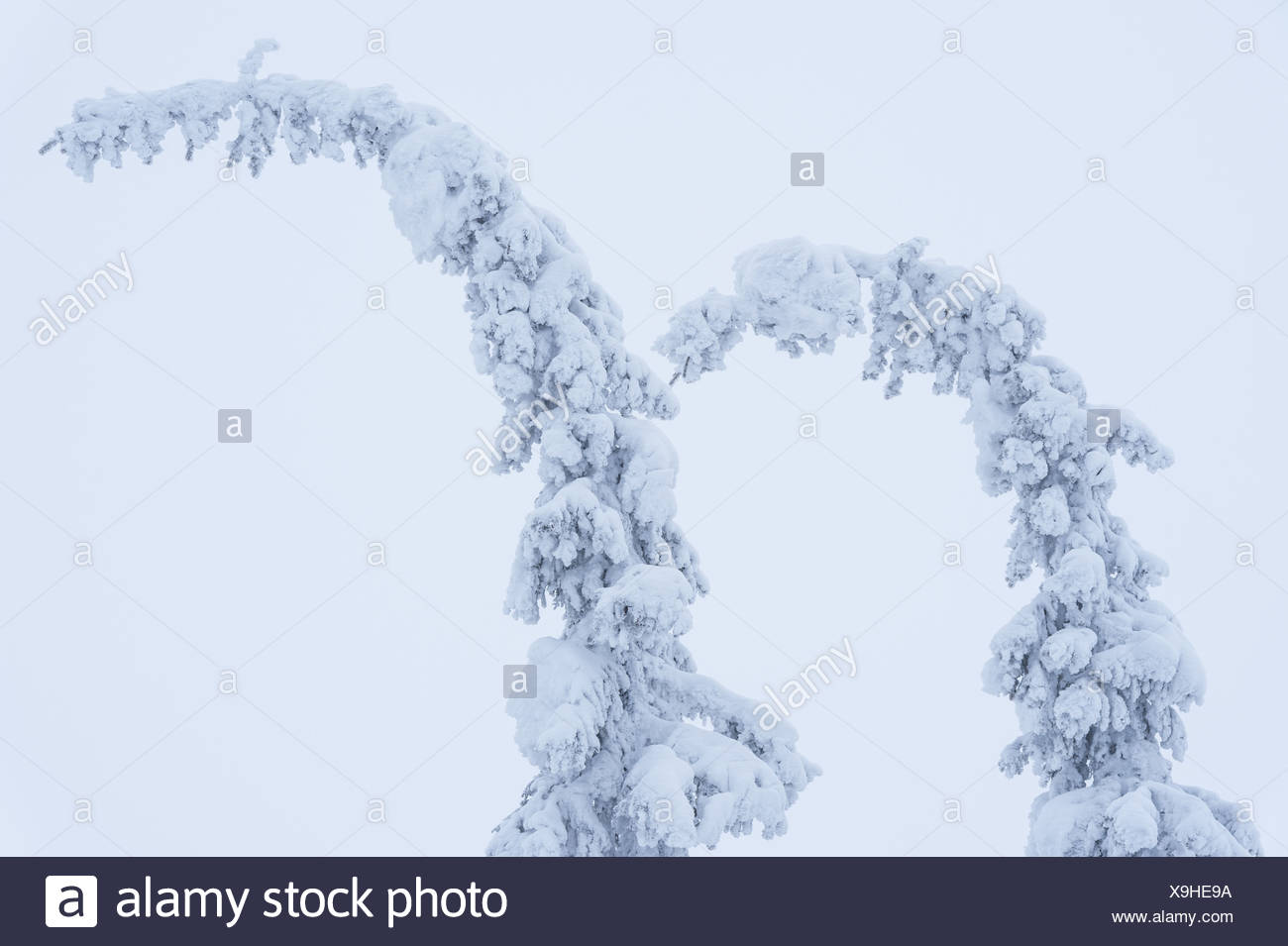 snow covered spruces in fog, Lapland, Sweden - Stock Image