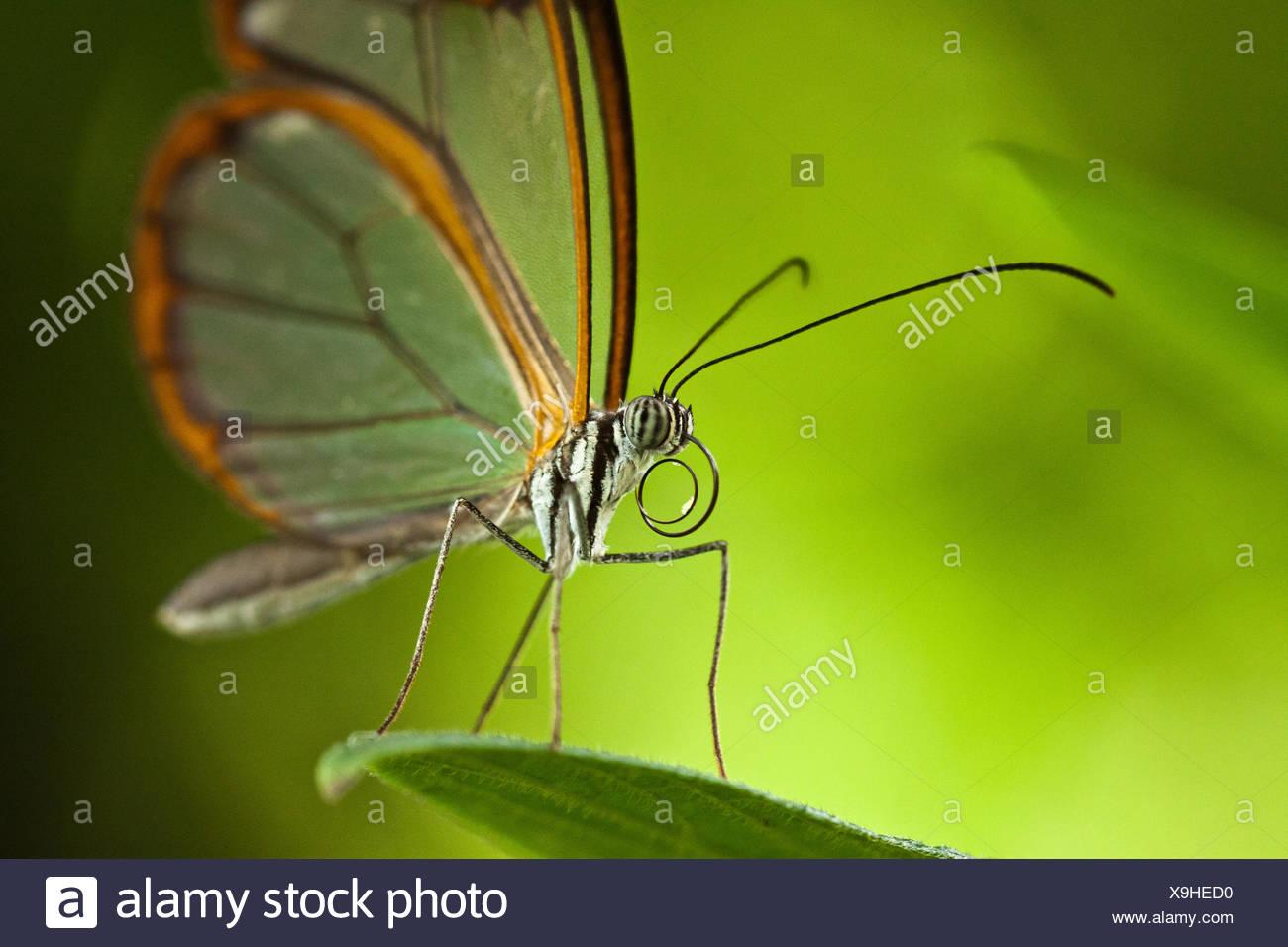 Glasswinged Butterfly Greta Oto Stock Photo 281282316 Alamy