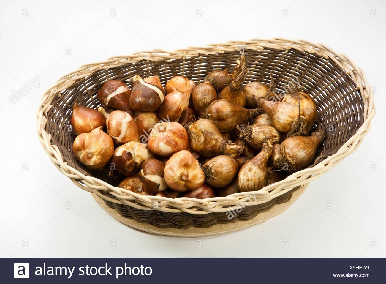 flower bulbs Stock Photo