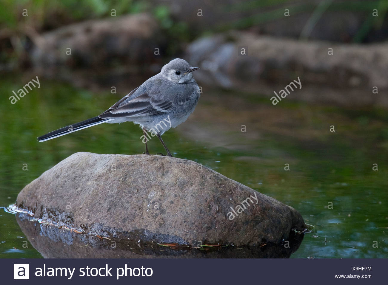 pied wagtail (Motacilla alba), squeaker sitting on a stone in a creek, Germany - Stock Image