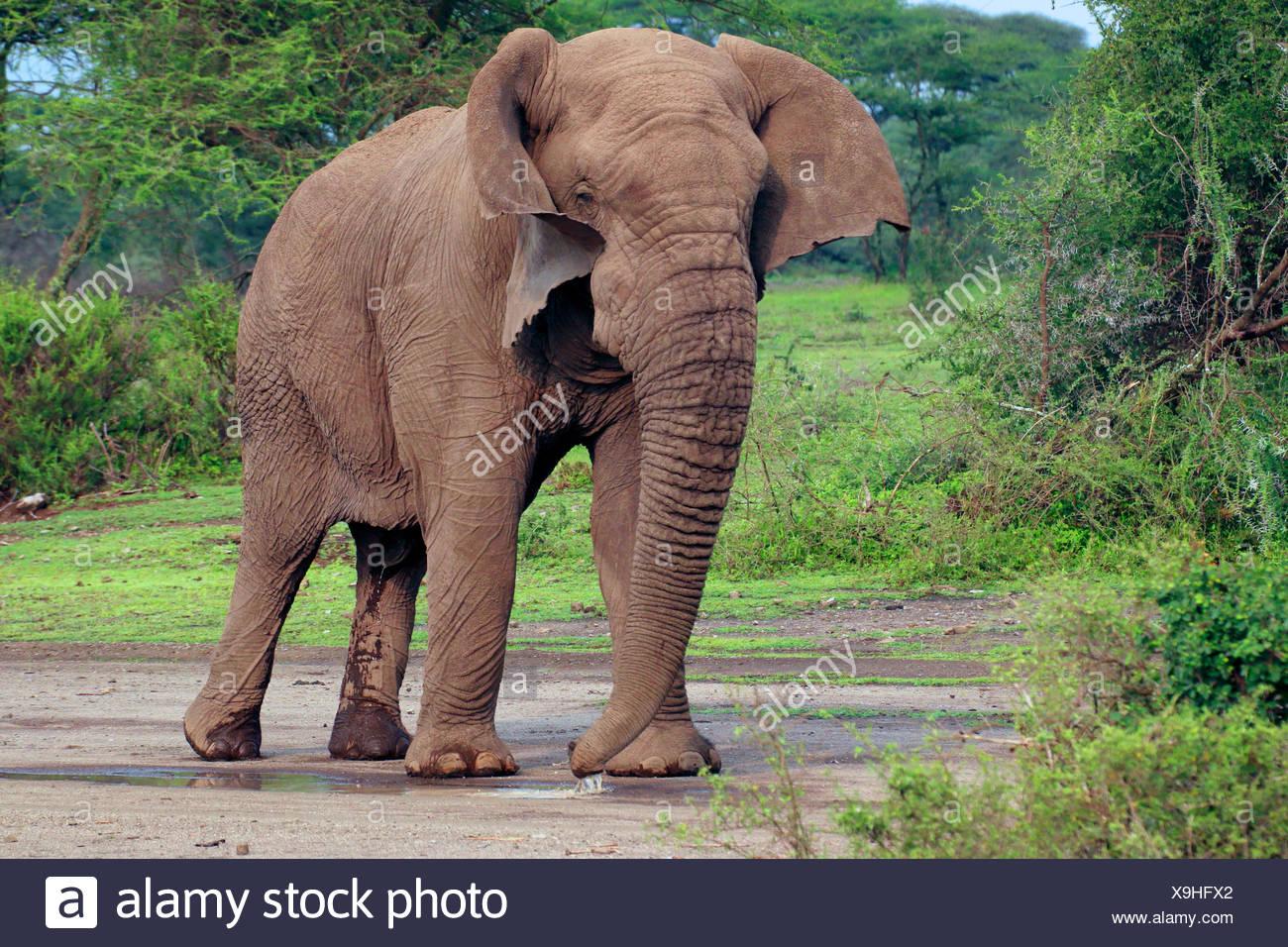 African elephant (Loxodonta africana), bull elephant without tusks in the Serengeti, Tanzania, Serengeti National Park - Stock Image