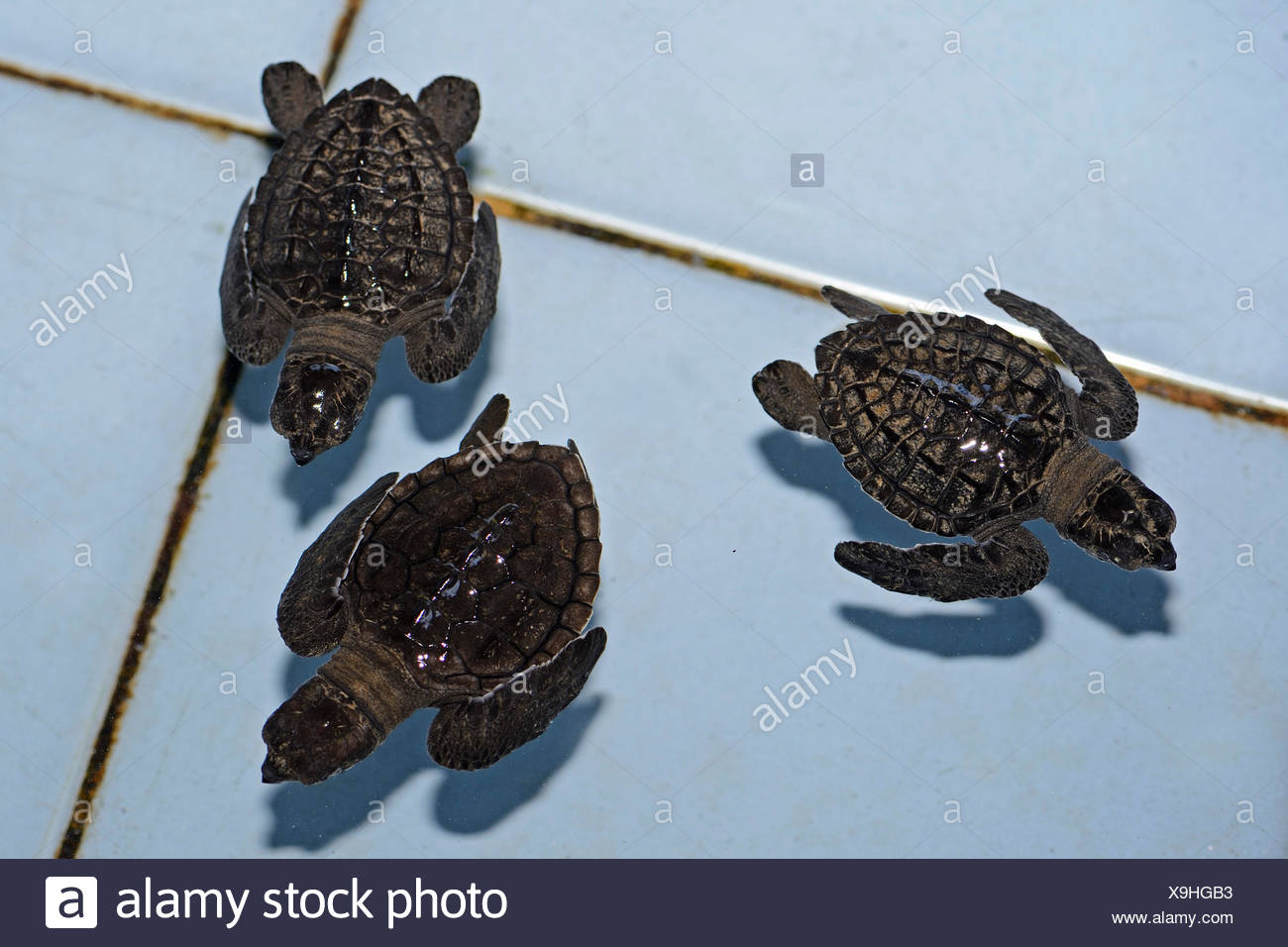 Olive ridley sea turtles (Lepidochelys olivacea) hatchlings, approx. one month, breeding station, Bali, Indonesia - Stock Image