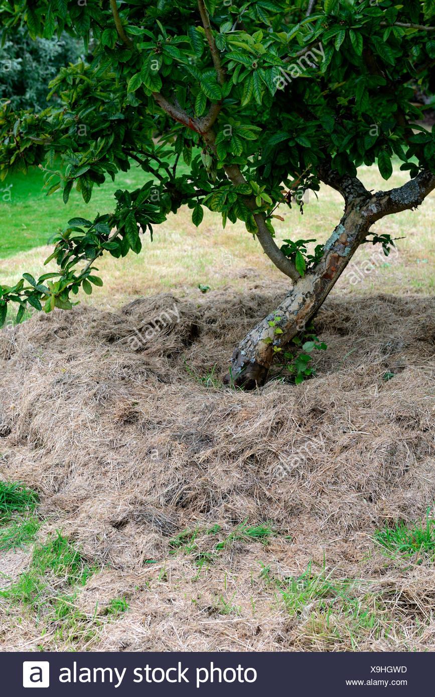 Mulchen, Grasschnitt unter Obstbaum, Bodenfruchtbarkeit - Stock Image