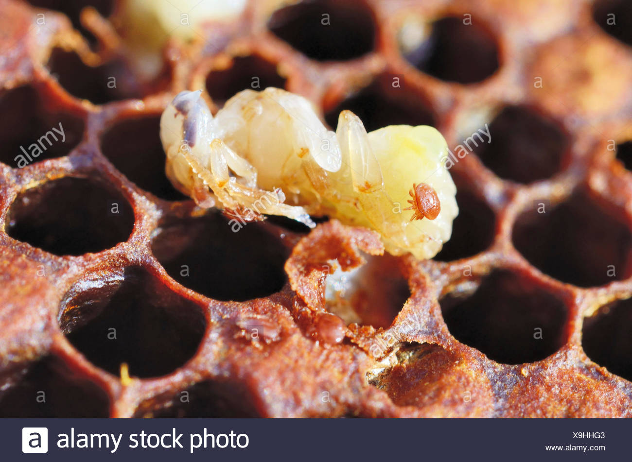 Bee colony infested with Varroa Honey Bee Mites (Varroa destructor, syn. Jacobsoni), mite on a Bee larva (Apis mellifera var - Stock Image