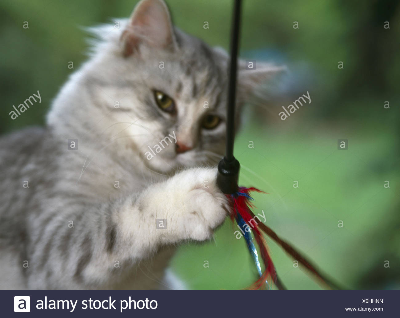 Siberian cat, young, cat's toys, near, kittens, cat, detail, young animal, race, race cat, toys, feathers, cords, play, paw - Stock Image