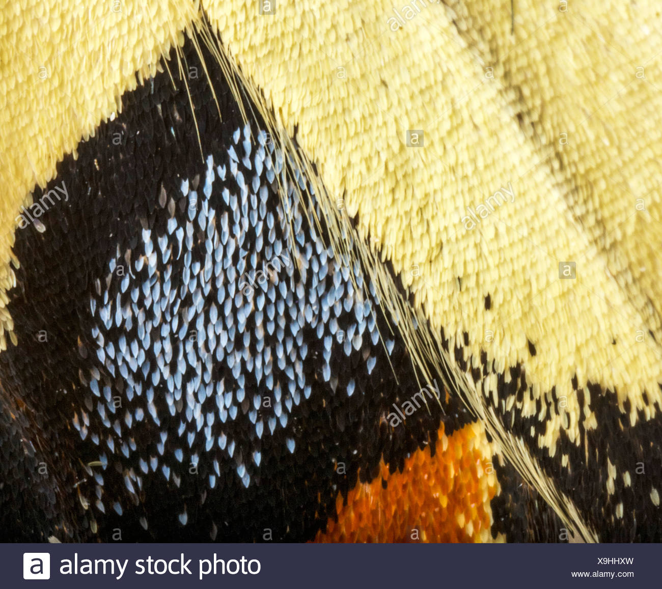 Swallowtail butterfly wing - Stock Image