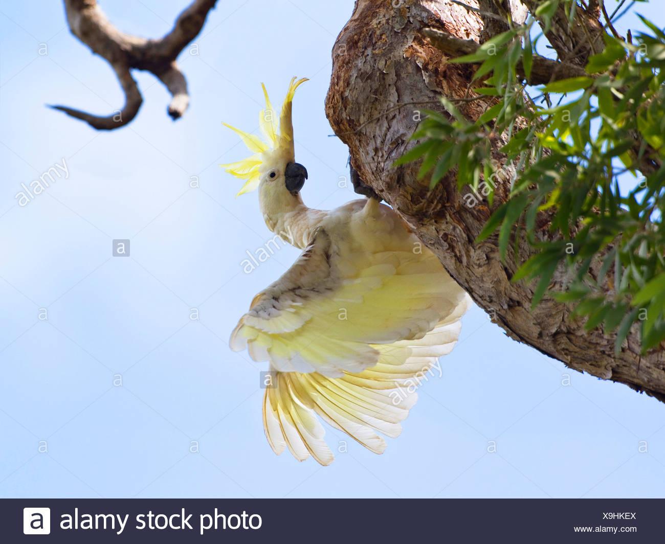 sulphur-crested cockatoo (Cacatua galerita), on a branch, Australia, Queensland, Cape York peninsula, Iron Range National Park - Stock Image