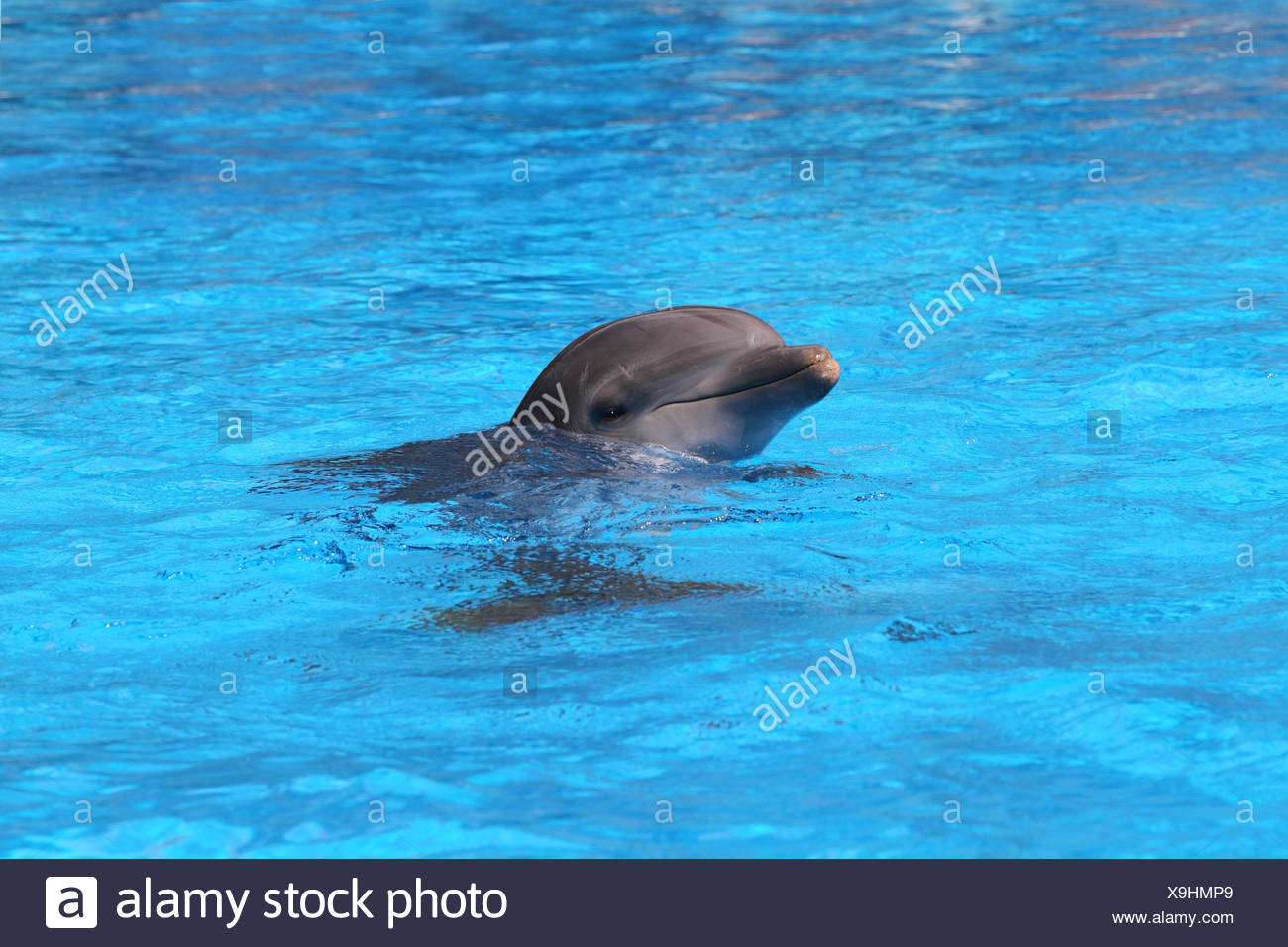 Bottlenose dolphin, pool, portrait, - Stock Image