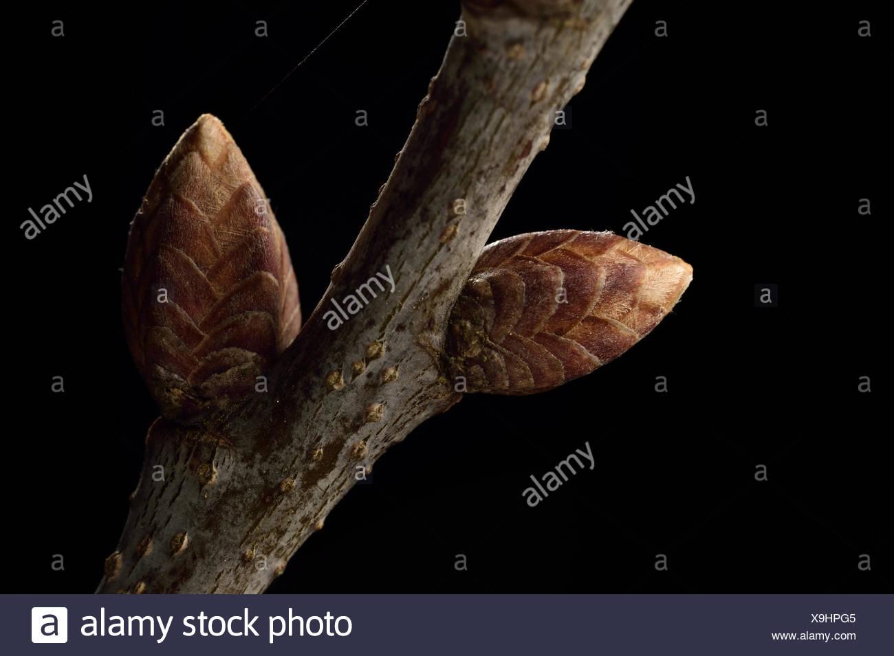 Buds of English oak tree (Quercus robur)  Niedersechsische Elbtalaue Biosphere Reserve, Elbe Valley, Lower Saxony, Germany, Apri - Stock Image