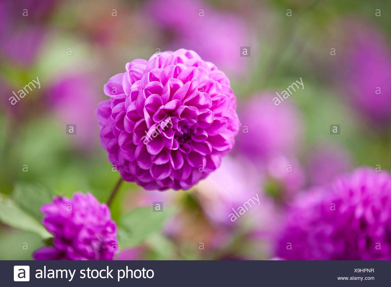 Purple dahlia flowers in bloom stock photo 281288835 alamy purple dahlia flowers in bloom izmirmasajfo