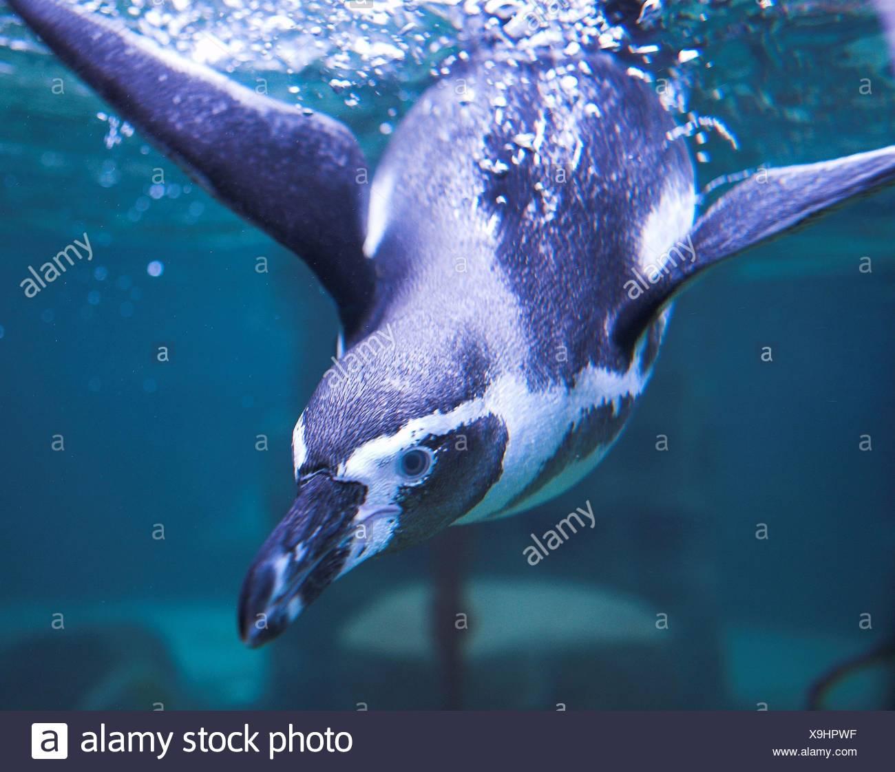 penguin - Stock Image