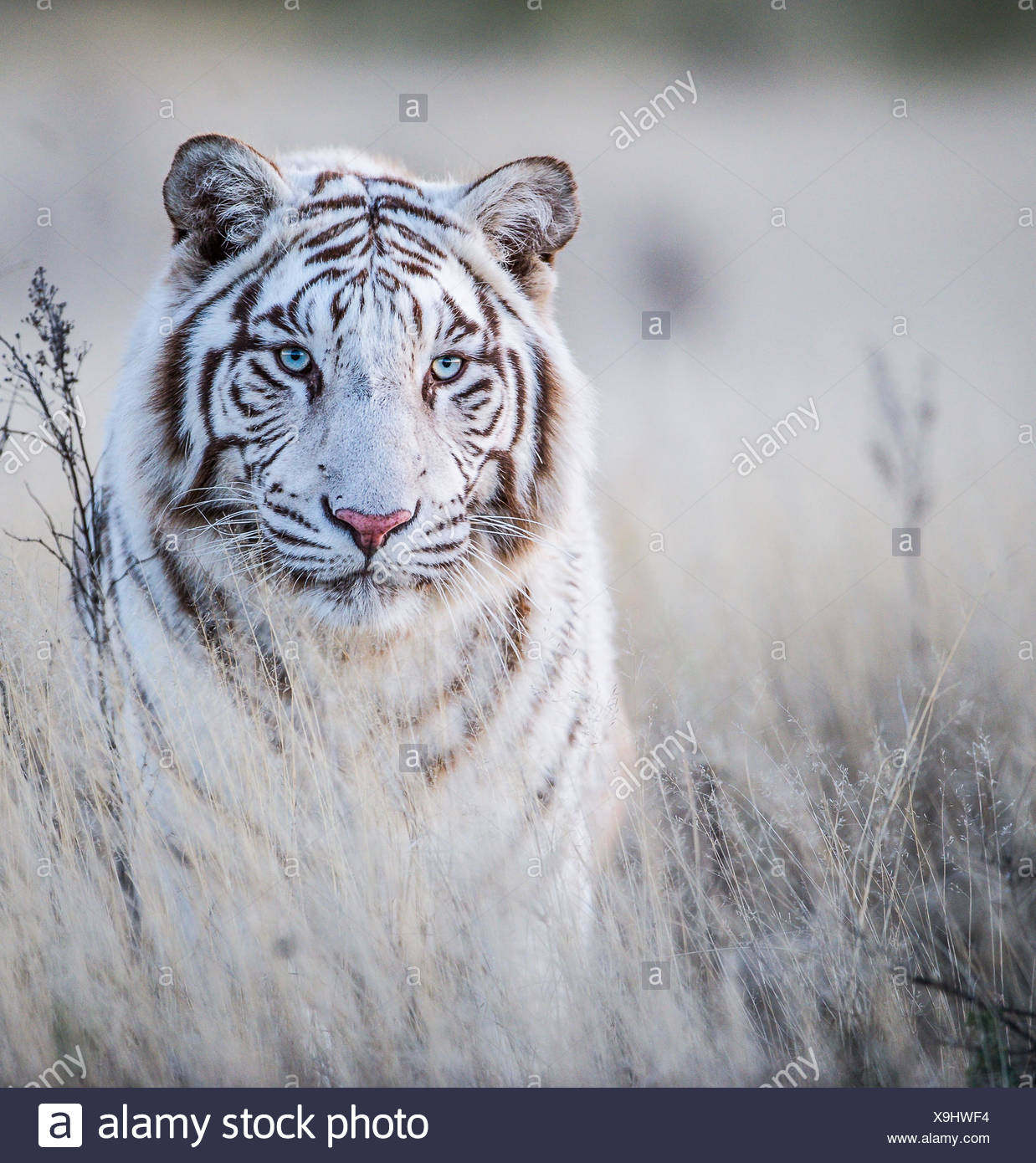 Portrait of a white Tiger, Tiger Canyons, South Africa - Stock Image