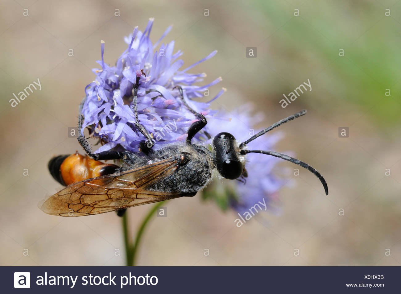 Digger Wasp on Sheep's-bit flower - Aqutaine France - Stock Image