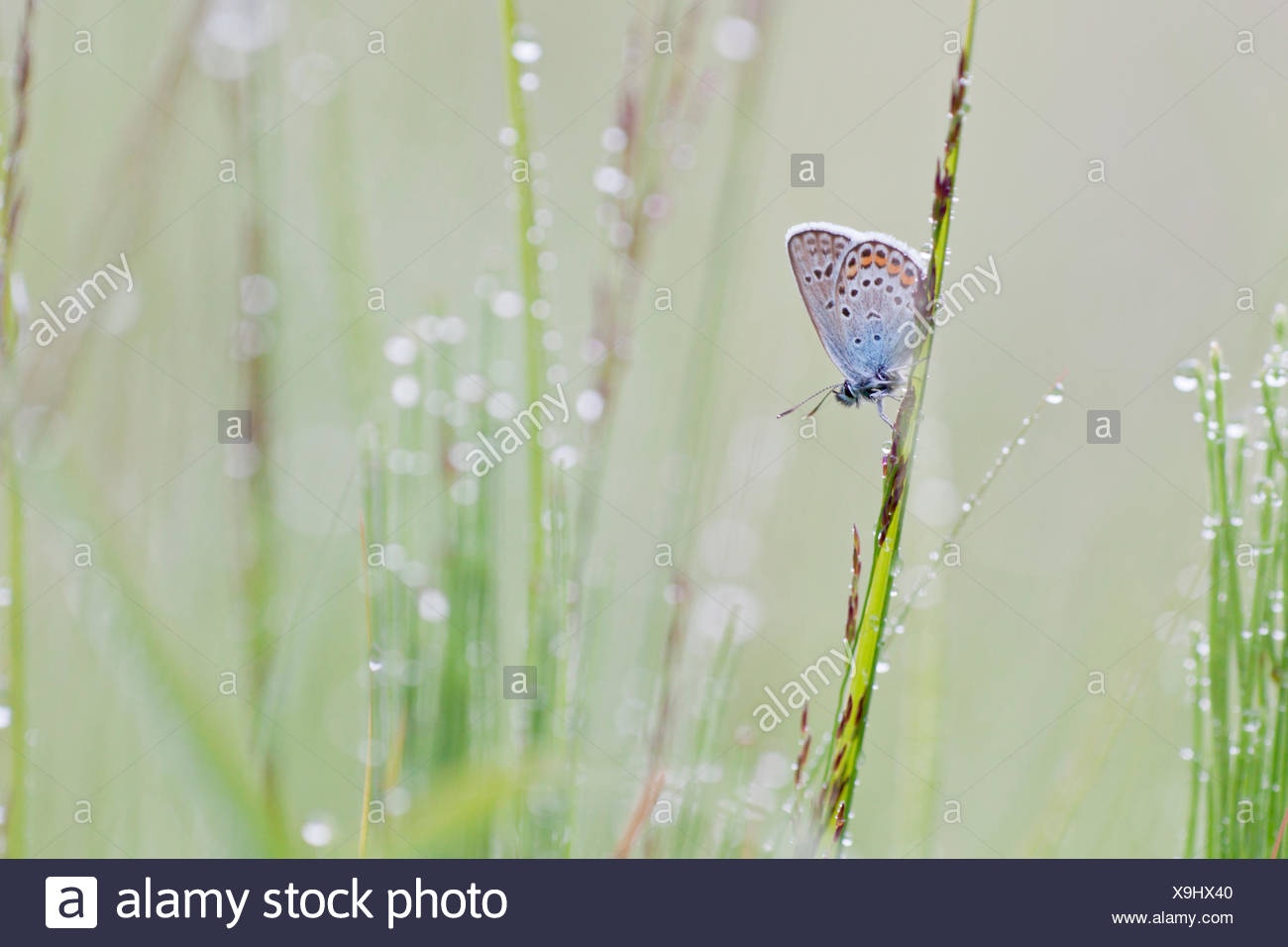 Common Blue (Polyommatus icarus) on a blade of grass - Stock Image