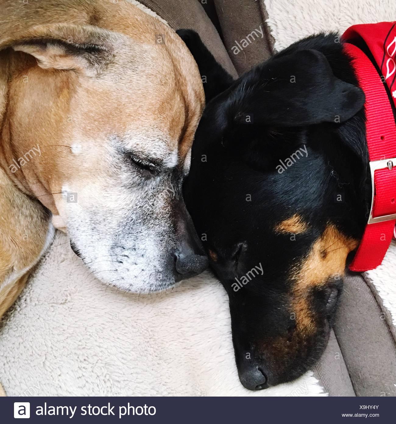 High Angle View Of Dogs Sleeping On Sofa - Stock Image