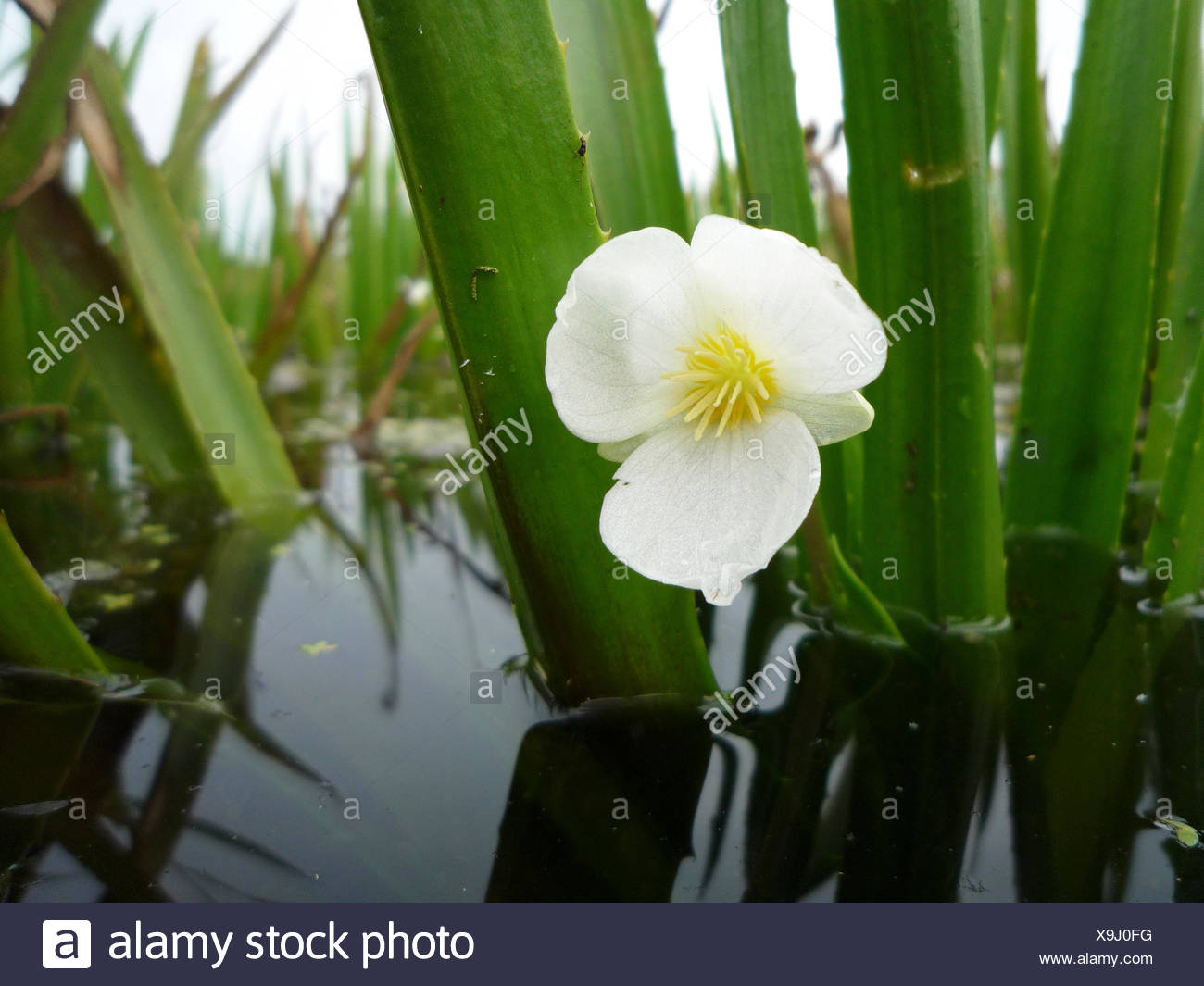 Flower of water soldier in a low-moor peat ditch Stock Photo