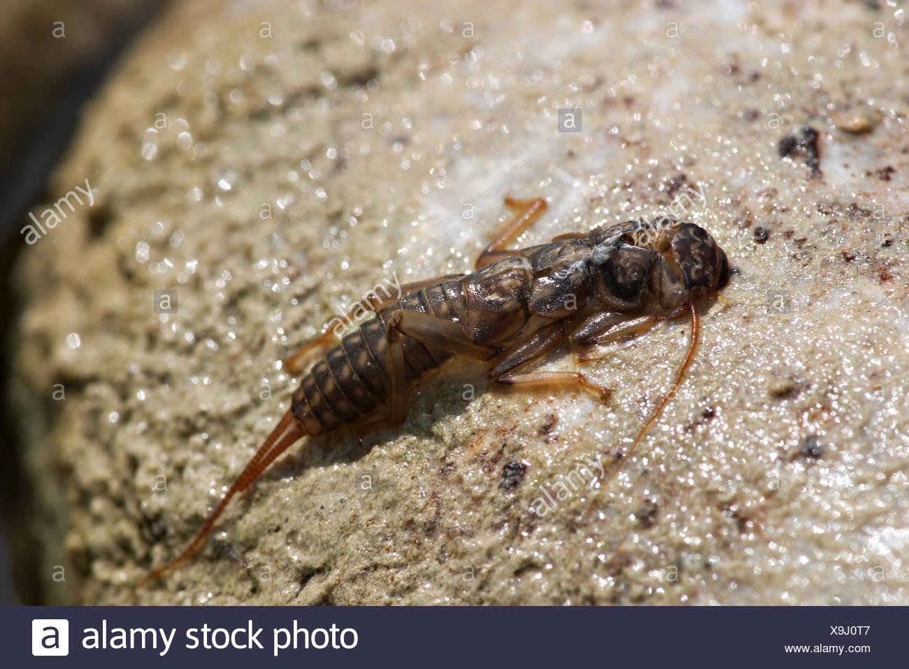 larva struck of stonefly Plecoptera - Stock Image