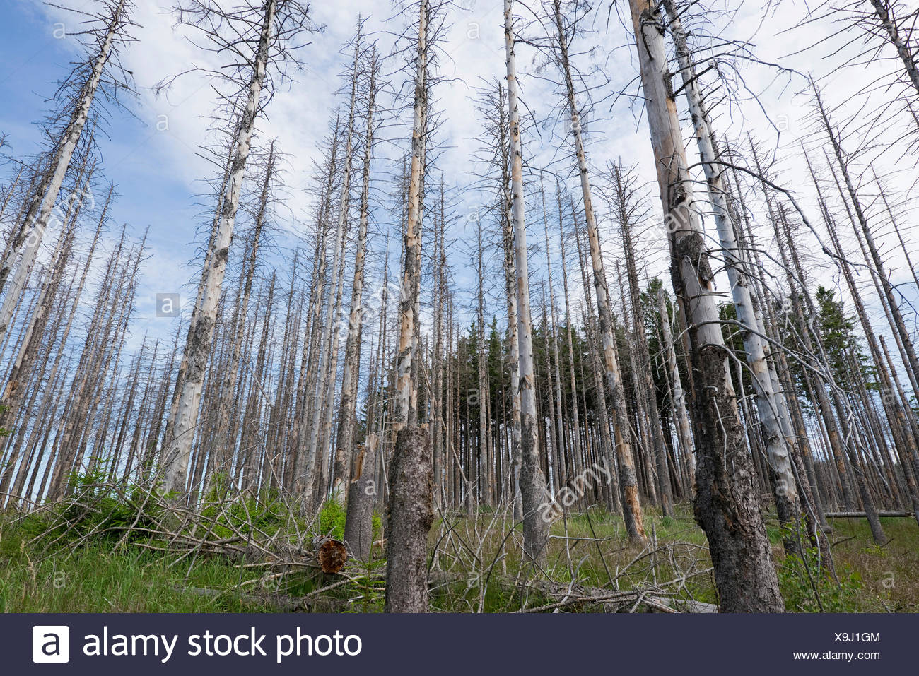 Dead Spruce Trees (Picea abies) after infestation and herbivory of the Eight-toothed Spruce Bark Beetle (Ips typographus) - Stock Image