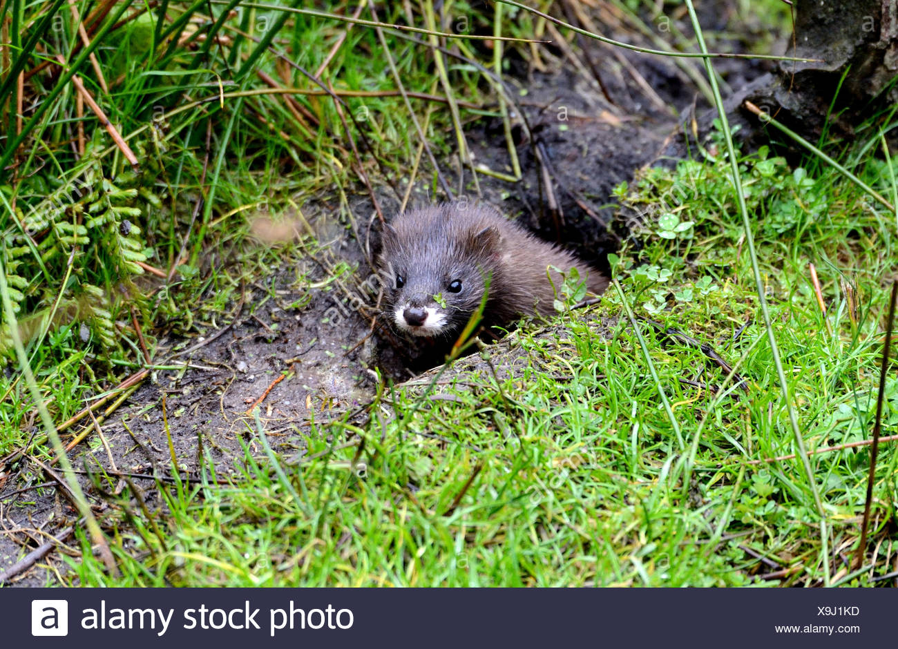 European mink, Mustela lutreola, mustelidae, predator, robber, Endemical, canids, endangered, wild animal, Germany - Stock Image