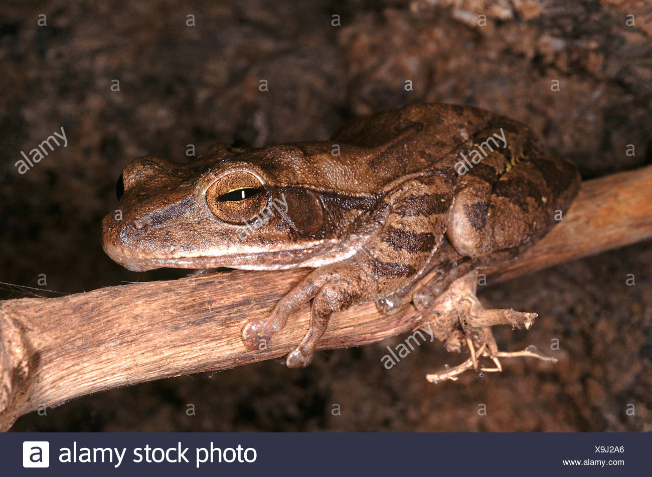 Polypedates Maculatus. Common tree frog. A medium sized frog that is found in moist deciduous forest areas. It lives on trees - Stock Image