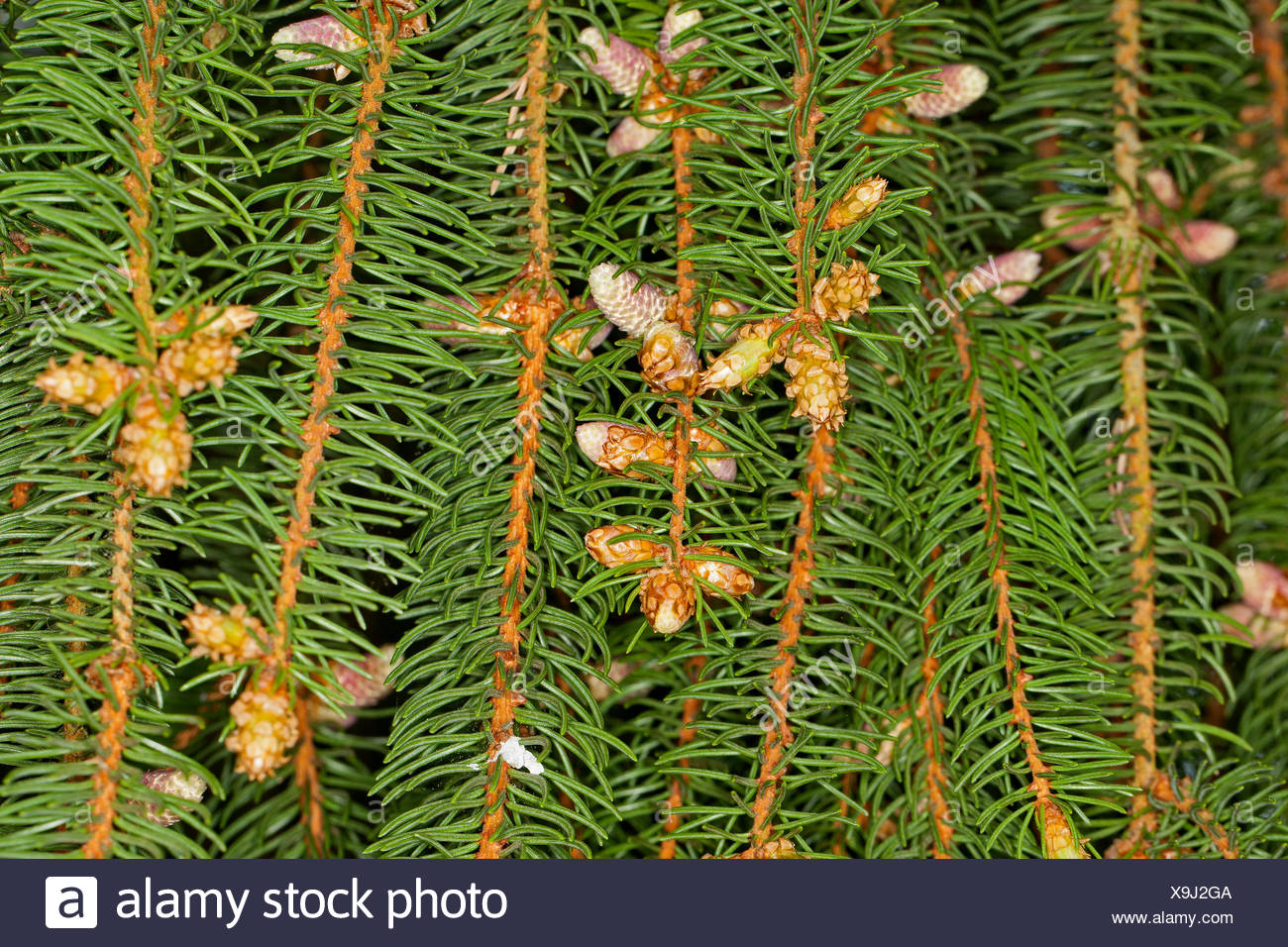 Norway spruce (Picea abies), branch with male flowers, Germany Stock Photo