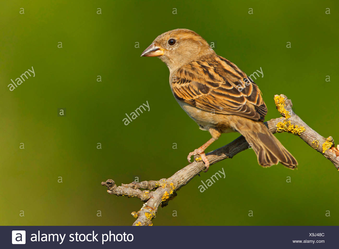 house sparrow (Passer domesticus), female sitting on a branch, Germany, Rhineland-Palatinate Stock Photo