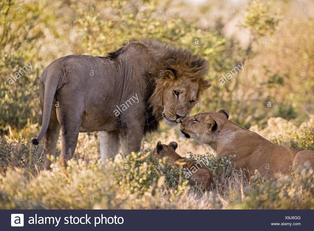 Africa, Botswana, African Lion (Panthera leo) Lioness (Panthera leo) and cub Stock Photo